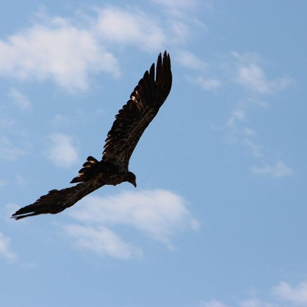 VIE-Ucluelet-Eagle-LB